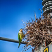 monk parakeet working on his nest St.Petersburg, Florida, USA