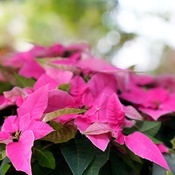 pink leaves of poinsettia