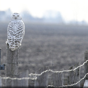 Fence Post Snowy Owl!