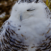 Sweet dreams-female snowy owl