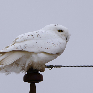 On the post-male snowy owl
