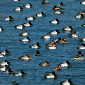 Scaup Party
