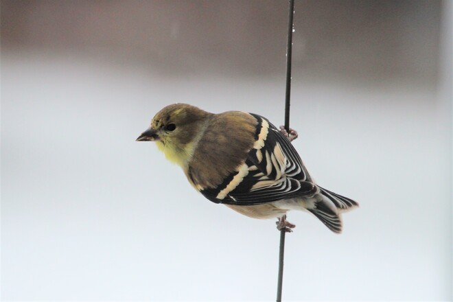 Wintering Goldfinch in North NB? North Tetagouche, NB