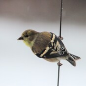 Wintering Goldfinch in North NB?
