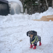 Mini Dachshund puppy in the snow