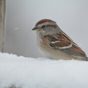 pretty sure this is an american tree sparrow georgetown, ontario, canada