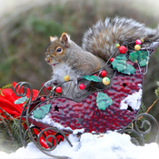Grey squirrel thinks he is Santa.