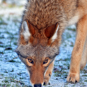 Northern Coyote
