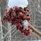 Ice-capped Sumac