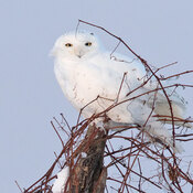 4 snowy owls today