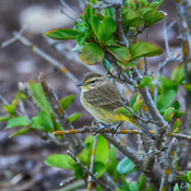 palm warbler st.petersburg, florida, usa