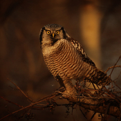 The Northern Hawk Owl Club!