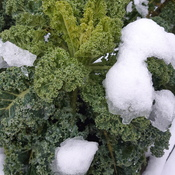 Kale after Snowfall