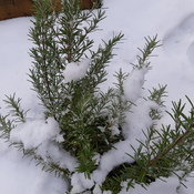 Winter Rosemary