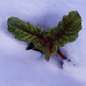 Swiss Chard Survived Snowfall