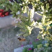 Bees Love Oregano flowers