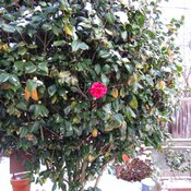 What a tough red camellia