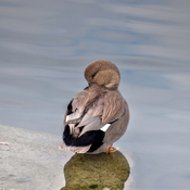 Gadwall Duck Male ~ Toronto