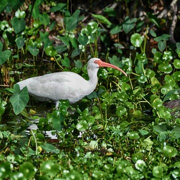 ibis sawgrass lake park, florida, usa