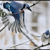 Winter Blue Jays Portrait