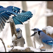 Blue Jay Meeting at the log