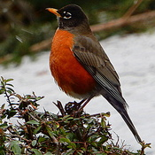 Robin in January