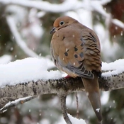 Peaceful Mourning Dove
