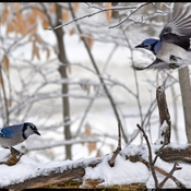 Winter blue Jay Scene...
