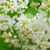 White Lilac- Welcome Spring
