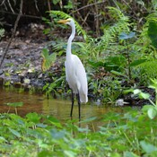 Snowy and great egret Boyd Hill Nature Preserve, florida, usa