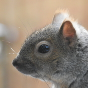 close up squirrel
