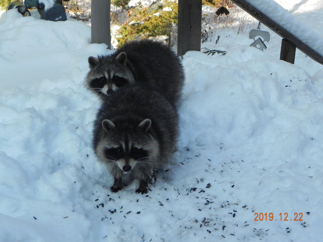 Raccoons and Cardinal on my deck Kirkfield, Kawartha lakes, ON