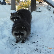 Raccoons and Cardinal on my deck