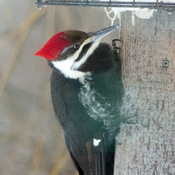 Female Pileated Woodpecker at our suet feeder
