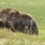 First Time Seeing Muskox