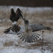 Northern Harriers Fighting