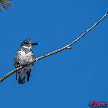 N'ice Beltes Kingfisher...