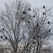 Tree full of eagles