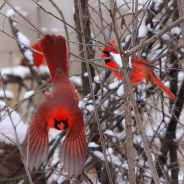 Three Cardinals brighten up a dull day!