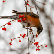 A Robin selects a frozen berry to eat