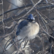 Cold Bluejay