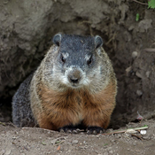 Male Groundhog