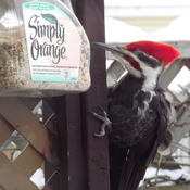 WOODPECKER attacks BIRD SEED CONTAINER