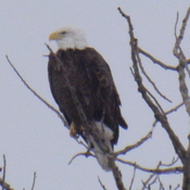 BALD EAGLE looking around