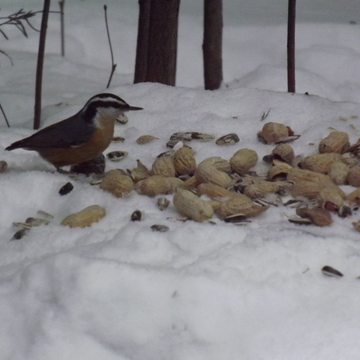 nuthatch at the buffet