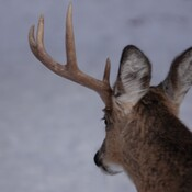 The Buck has started to shed his antlers!