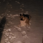 cheeko loves the snow
