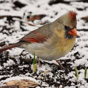 cardinals are back