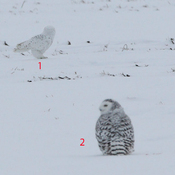 Two snowy owls close together
