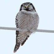 Northern Hawk Owl No. 2